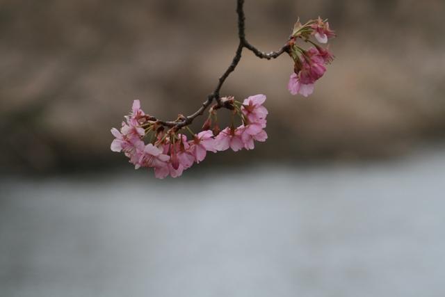 Sakura_uki6s