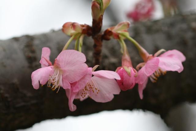 Sakura_uki7s