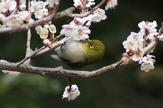 Mejiro_itoub6s