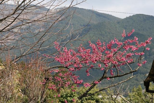 Kanhizakura_20100322_1s