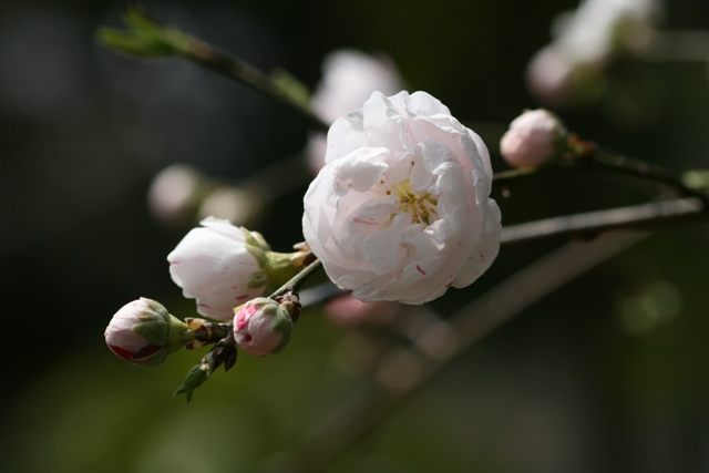 Hanamomo_20100328_2s