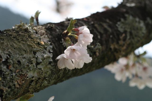 Sakura_hotaru_2s