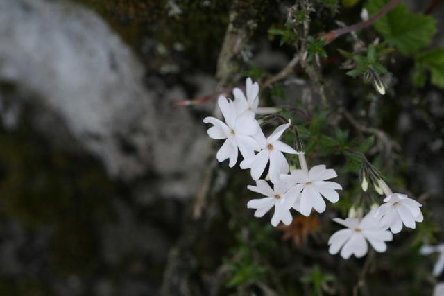 Sibazakura_20100501_1s