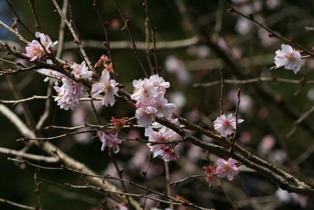 Jyugatuzakura1219_2s