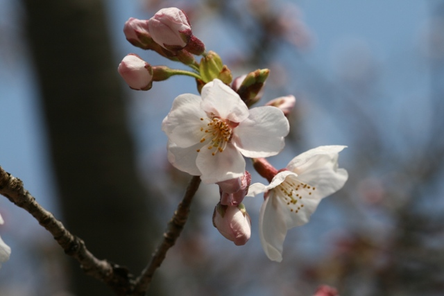 Sakura_0402_3s